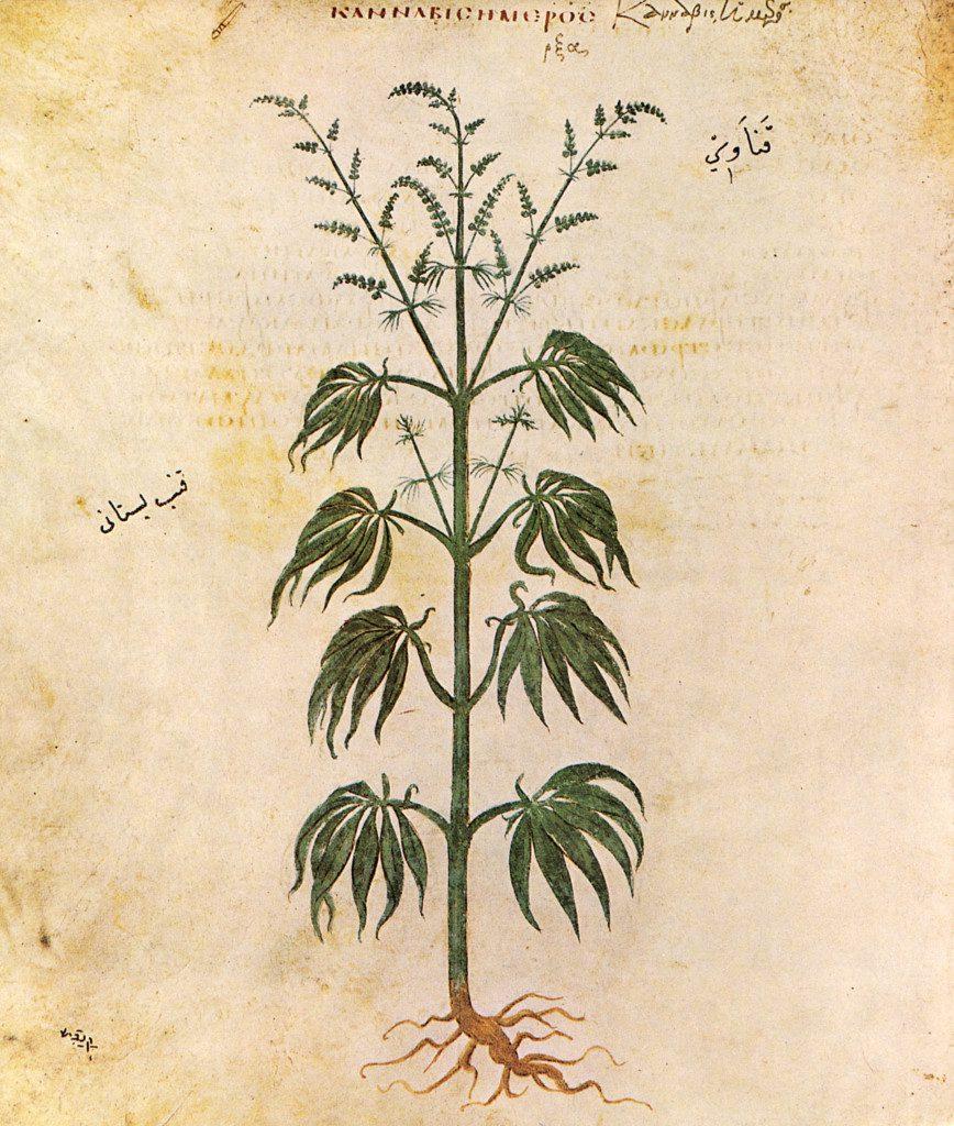 08_11th_century_herbarium-cannabissativadior